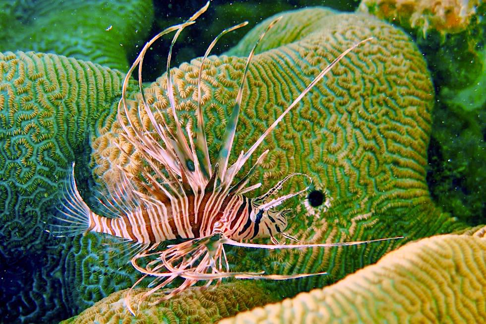 Feuerfisch oder Lionfish - Ningaloo Reef - Coral Bay Ecotours - Western Australia