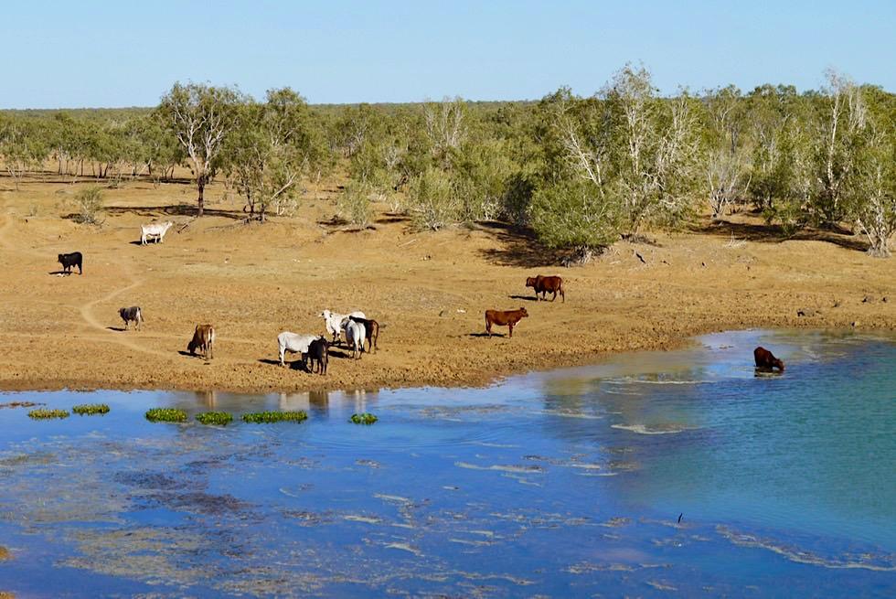 Rinderherde am Fitzroy River Delta bei Derby - King Sound Gulf - Kimberley - Western Australia