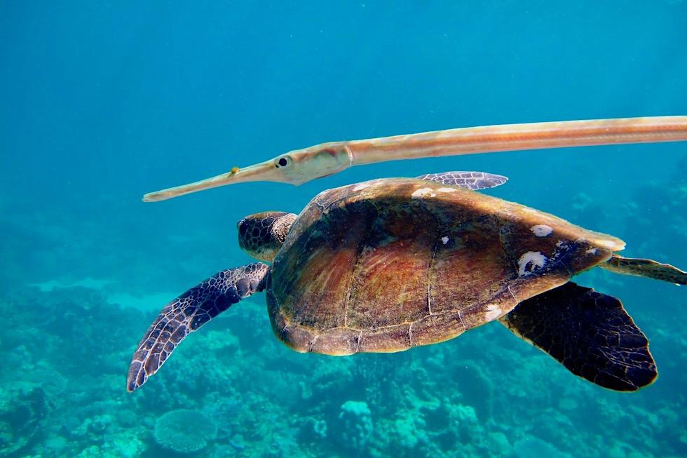 Faszinierende Unterwasserwelt: Flötenfisch & Meeresschildkröte (Suppenschildkröte) - Ningaloo Reef bei Coral Bay - Western Australia