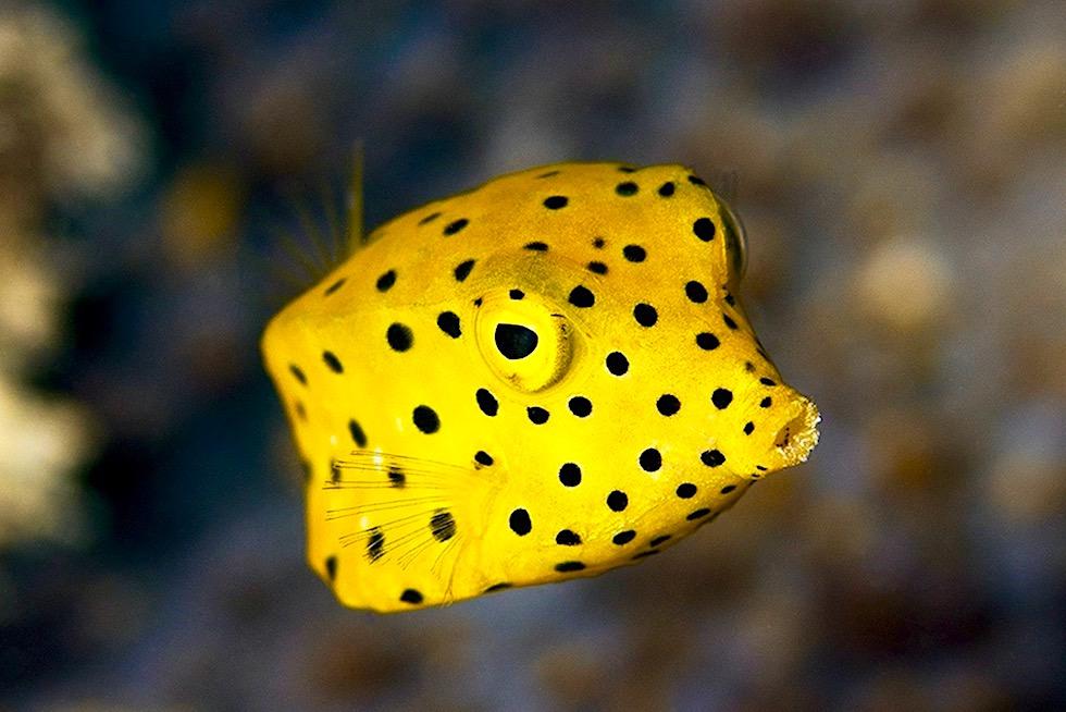 Gelbschwarz getupfter Kofferfisch oder Boxfish - Ningaloo Reef - Western Australia