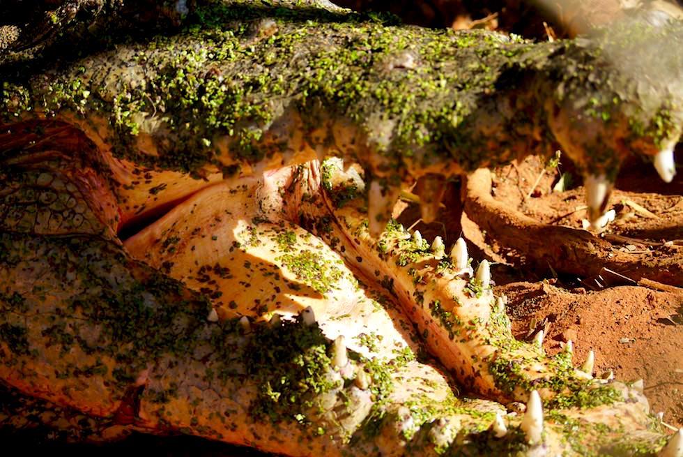 Malcolm Douglas Crocodile Park: Krokodil - offenes Maul & Gaumensegel - Kimberley - Western Australia