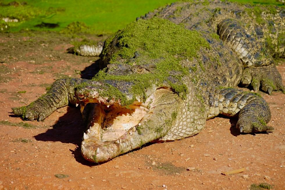 Temperaturausgleich - Krokodil beim Sonnen mit offenen Maul - Kimberley - Western Australien