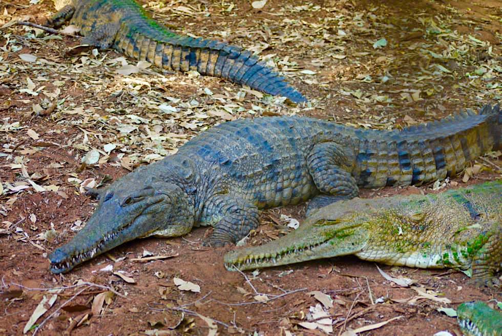 Malcolm Douglas Crocodile Park - Australien-Krokodil - Brome, Kimberley - Western Australia