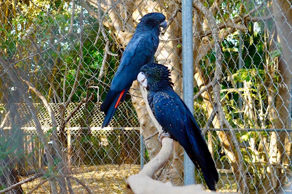 Malcolm Douglas Crocodile Park - Red-tailed Black Cockatoo - Broome, Kimberley - Western Australia