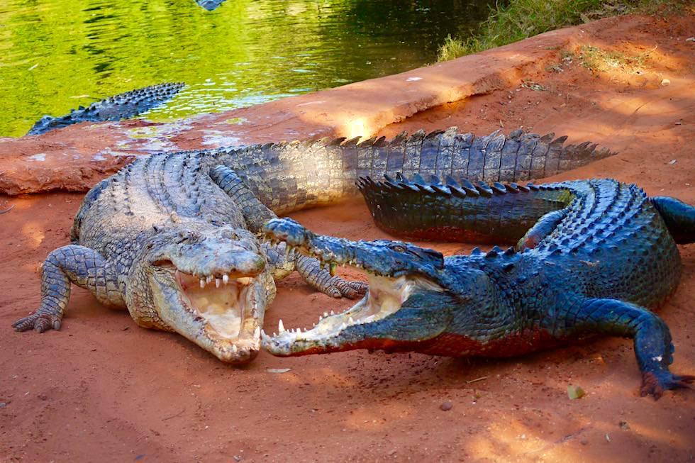 Malcolm Douglas Crocodile Park bei Broome - Färbung der Salzwasserkrokodile (Leistenkrokodile) - Kimberley - Western Australia