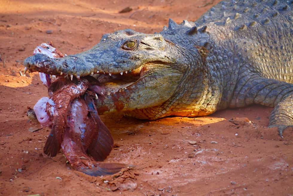 Malcolm Douglas Crocodile Park bei Broome - Führung & Krokodil Fütterung - Kimberley - Western Australia