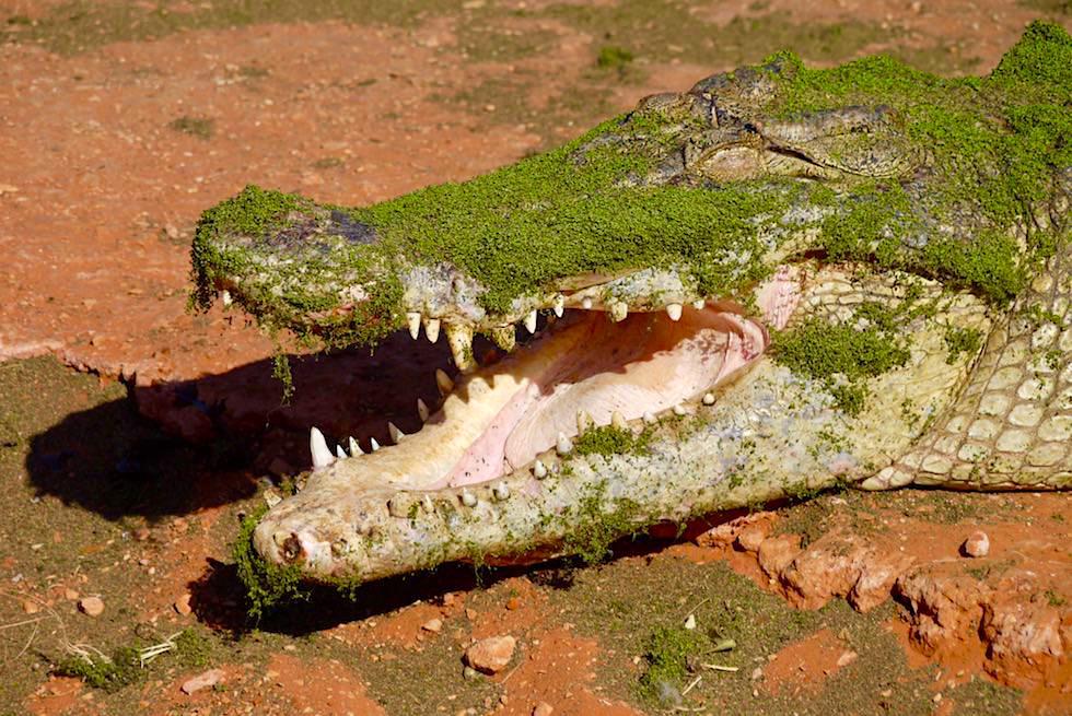 Malcolm Douglas Crocodile Park - Saltie mit offenem Maul - Broome, Kimberley - Western Australia