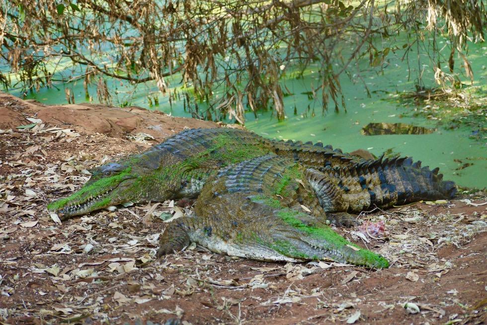 Malcolm Douglas Krokodilpark - Süsswasserkrokodil beim Ausruhen - Broome, Kimberley - Western Australia