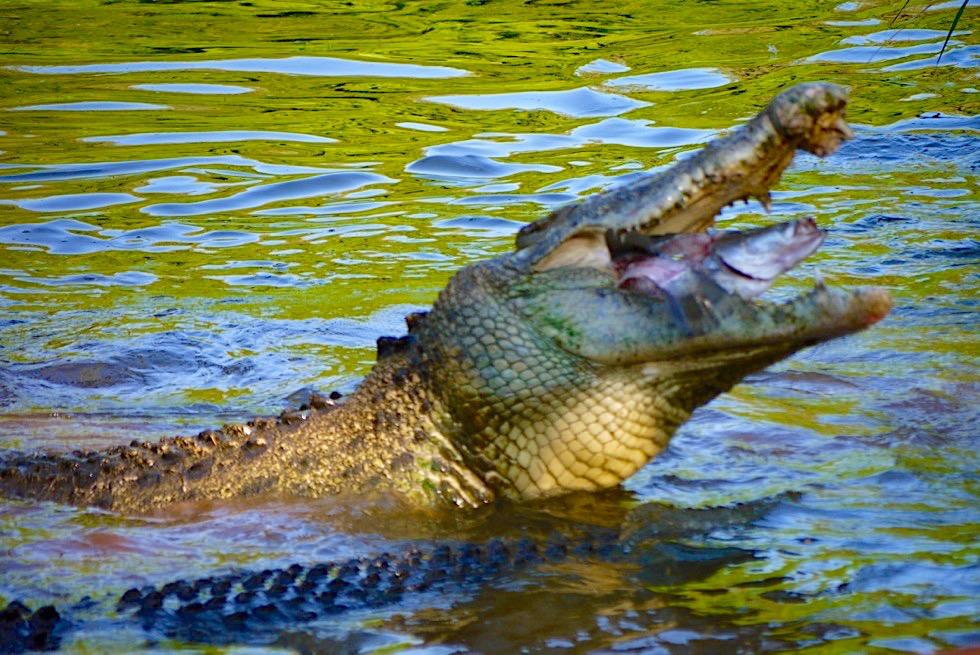 Malcom Douglas Crocodile Park - Fütterung der Leistenkrokodile, Salties - Kimberley - Western Australia