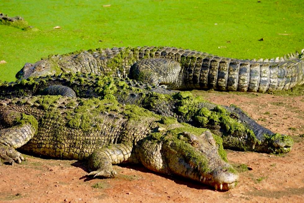 Malcolm Douglas Crocodile Park - riesige Salties beim Sonnen - Broome, Kimberley - Western Australia