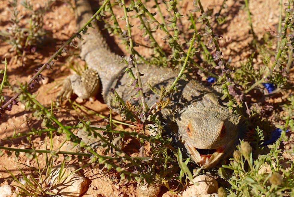 Oodnadatta Track - Lustig aussehende Bearded Dragon oder Bartagamen - Outback South Australia