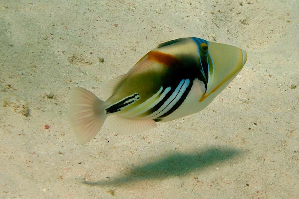 Schnorcheln mit Walhaien Tour: Picasso Drückerfisch - Ningaloo Riff - Coral Bay - Western Australia