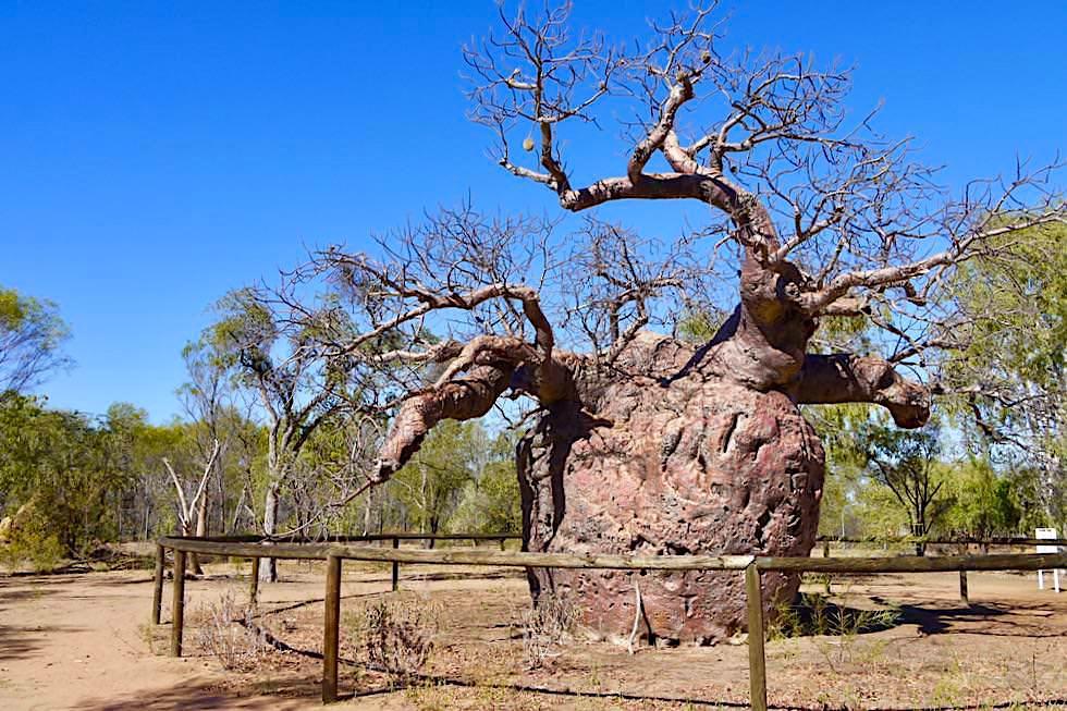 Prison Boab Tree bei Derby - Rückansicht - Kimberley - Western Australia