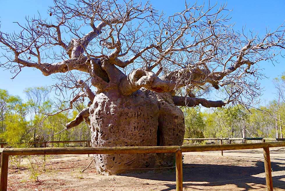 1500 Jahre alter Prison Boab Tree (Gefängnisbaum) bei Derby - Kimberley - Western Australia