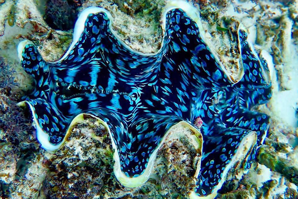 Faszinierend schöne Blauelippige Riesenmuschel oder Blue Giant Clam - Ningaloo Reef - Coral Bay - Western Australia