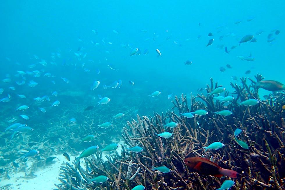 Schnorcheln mit Walhaien: Rifffische - Ningaloo Reef - Western Australia