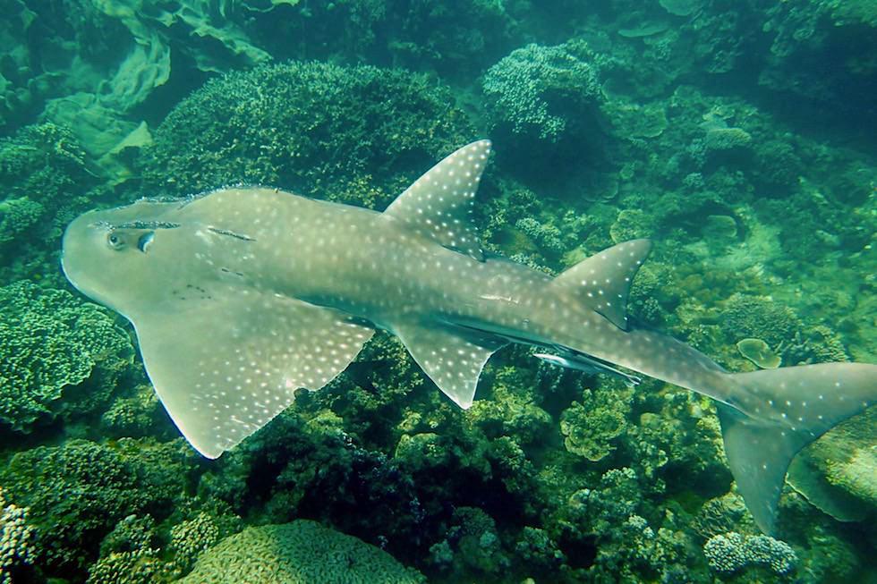 Rundkopf-Geigenrochen oder Shark Ray - Ningaloo Reef - Western Australia