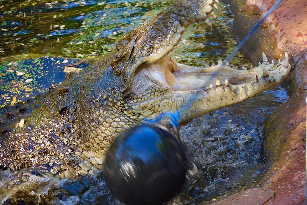 Malcolm Douglas Crocodile Park: Salzwasserkrokodil sind blitzschnelle Angreifer - Kimberley Western Australia