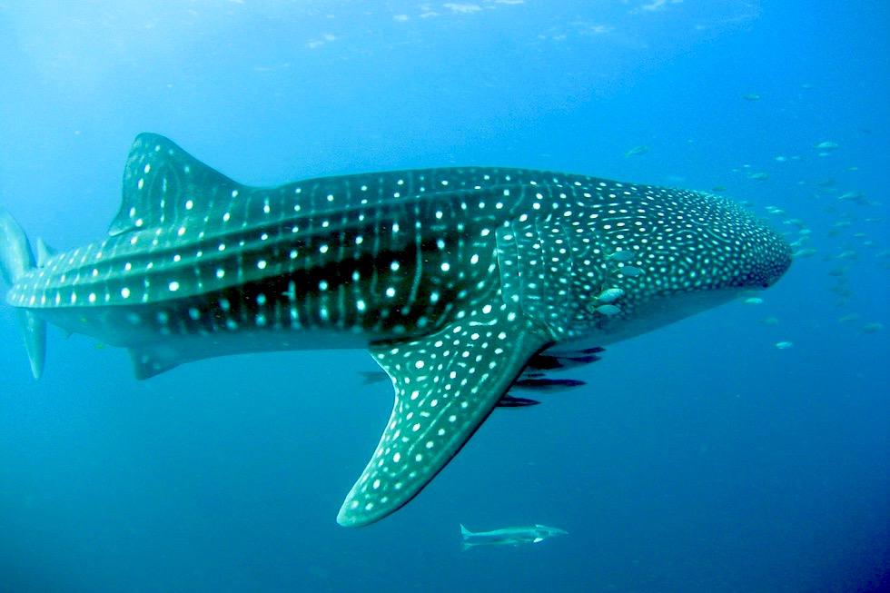 Faszination Schnorcheln mit Walhaien - Coral Bay Eco Tours - Ningaloo Reef - Western Australia