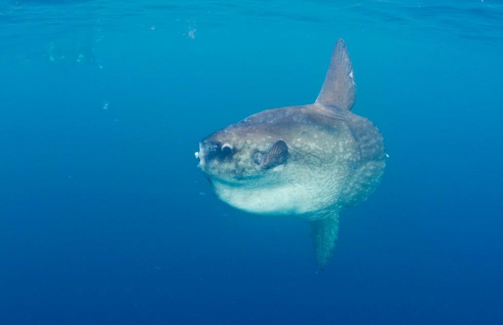 Sensation am Ningaloo Riff: Schnorcheln mit Walhaien & einem absolut seltenen, gigantischen Mondfisch - Coral Bay - Western Australia