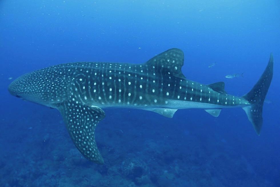 Schnorcheln mit Walhaien - Ningaloo Reef - Western Australia
