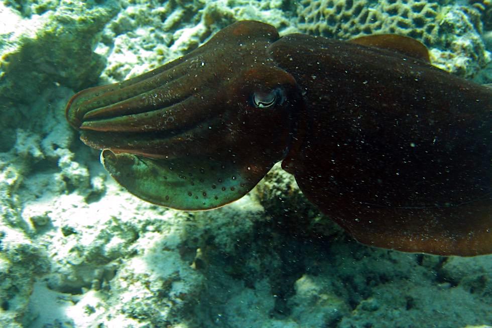 Schnorcheln mit Walhaien Tour: Tintenfisch am Ningaloo Reef - Coral Bay - Western Australia