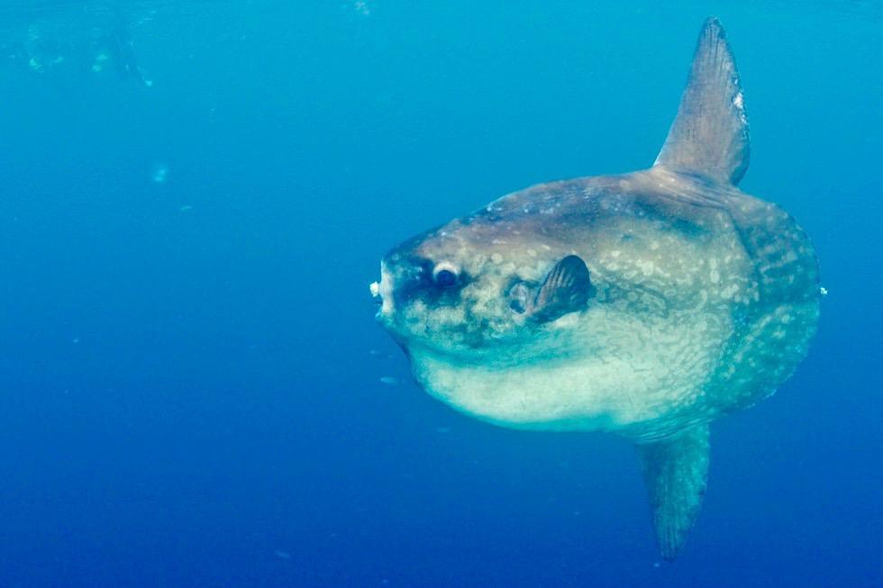 Einzigartiges Erlebnis: Aus Schnorcheln mit Walhaien wird schnorcheln mit einem gigantischer Mondfisch - Ningaloo Reef - Coral Bay - Western Australia