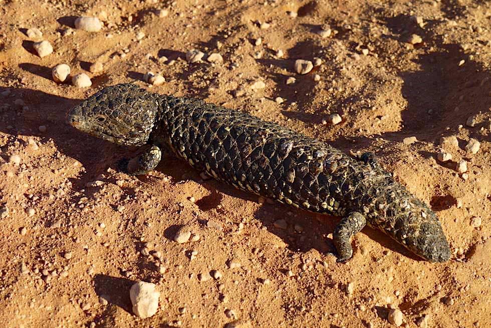 Lustig aussehender Shingleback Lizard oder Tannenzapfenechse - Oodnadatta Track - Outback South Australia