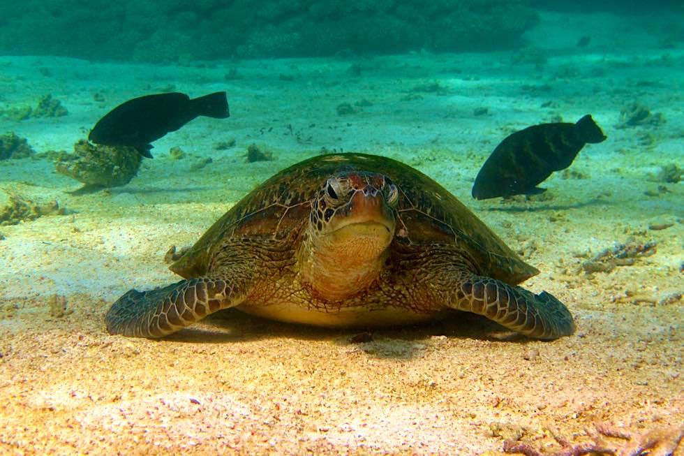 Extrem häufig: Suppenschildkröte oder Green Sea Turtle im Ningaloo Reef - Coral Bay - Western Australia