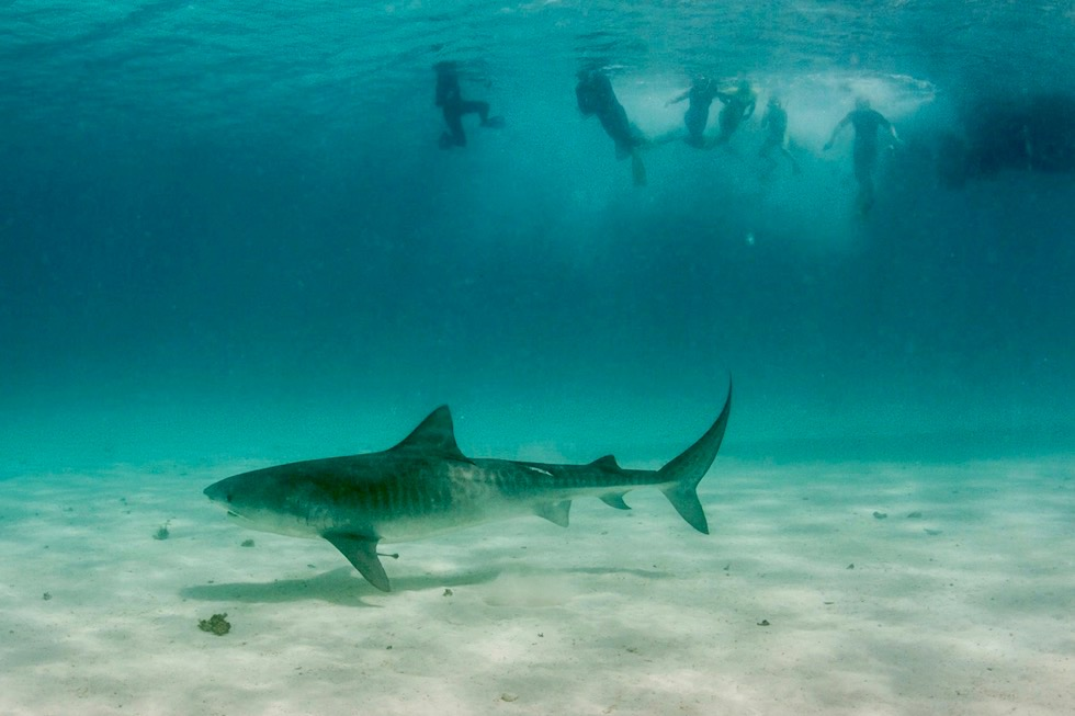 Faszinierende Tigerhaie beim Schnorcheln am Ningaloo Reef - Western Austalia