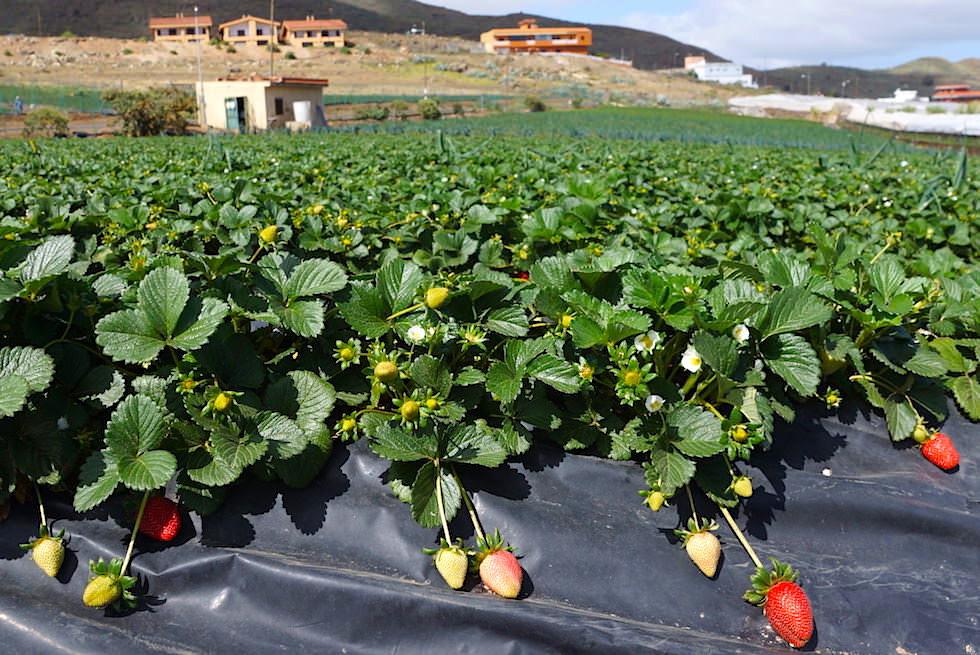 Valsequillo Genusstour - Finca La Palma - Erdbeeren vom Feld - Gran Canaria