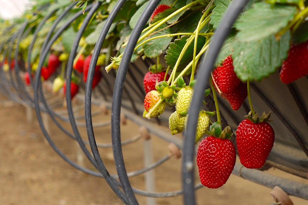 Valsequillo Genusstour - Die beste Erdbeeren von Gran Canaria stammen aus Valsequillo