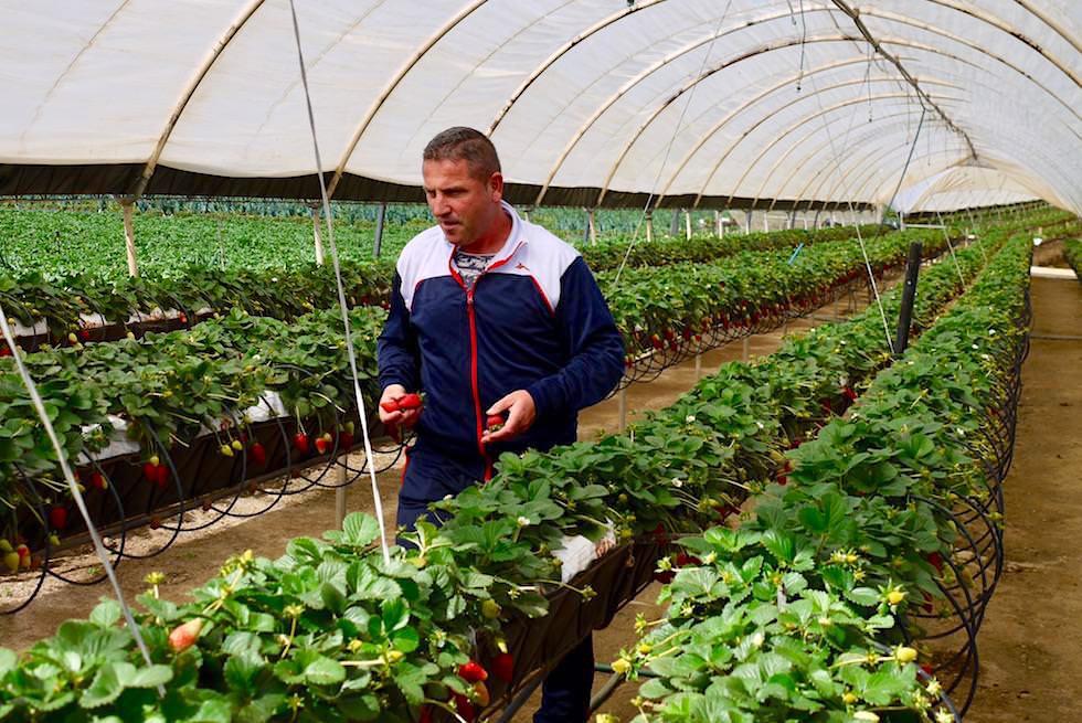 Valsequillo Genusstour - Erdbeeren vom Erzeuger - die besten Erdbeeren von Gran Canaria