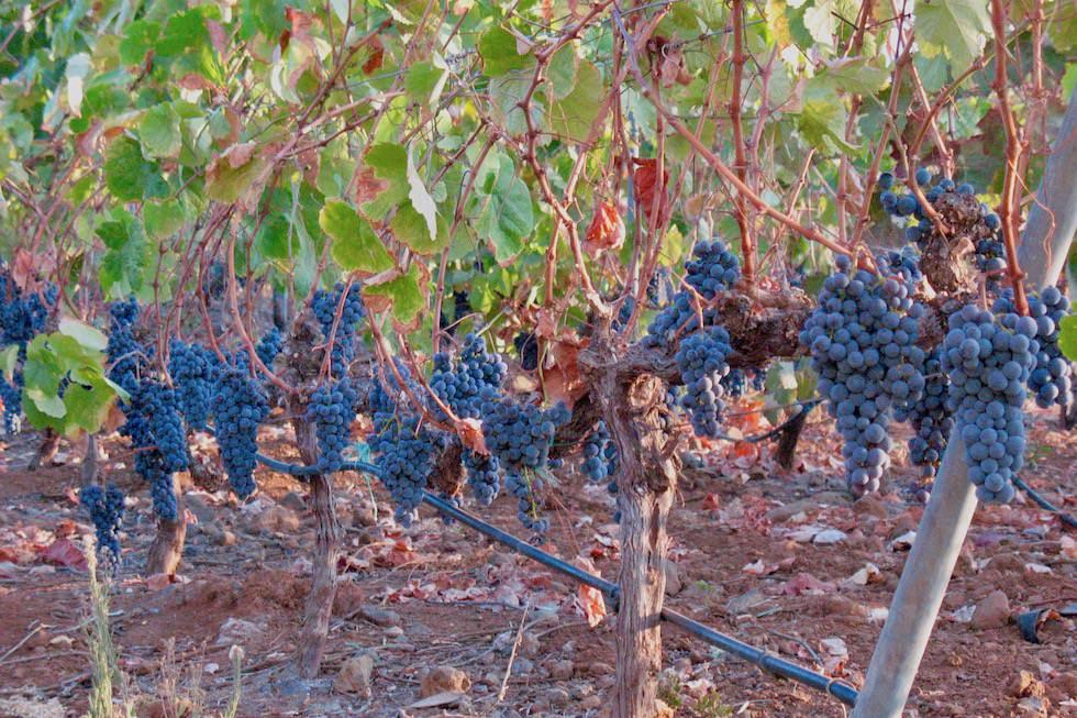 Valsequillo Genusstour - Bodegas Mogaren - Weinreben vor der Ernte - Gran Canaria