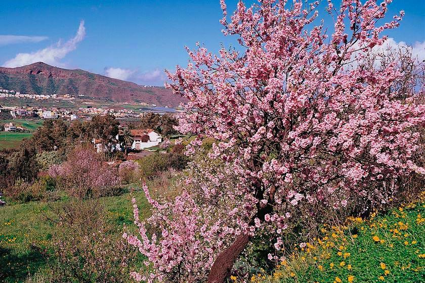 Valsequillo - Mandelblüte - Gran Canaria