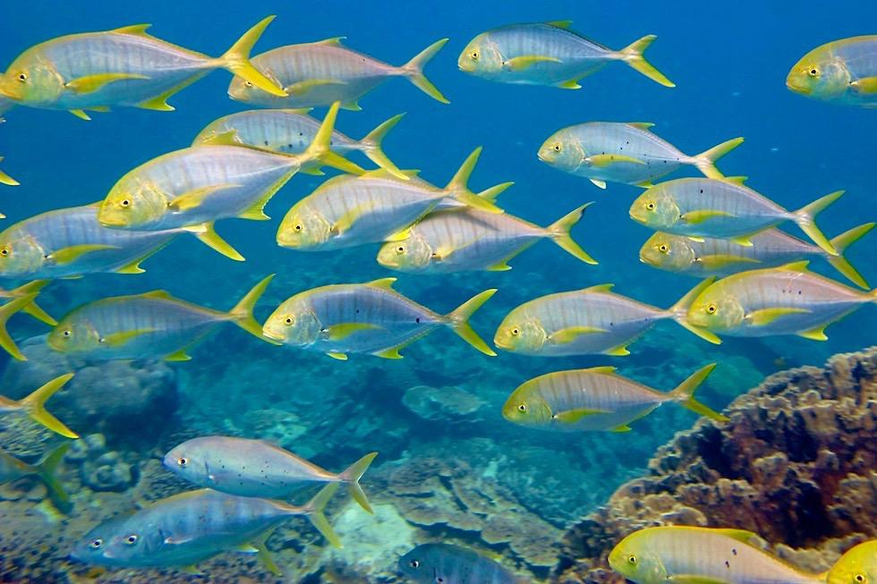 Schnorcheln mit Walhaien - Fischschwärme - Ningaloo Reef - Western Australia