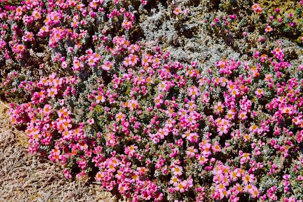 Wildblumen - Strangway Springs - Oodnadatta Track - Outback South Australia