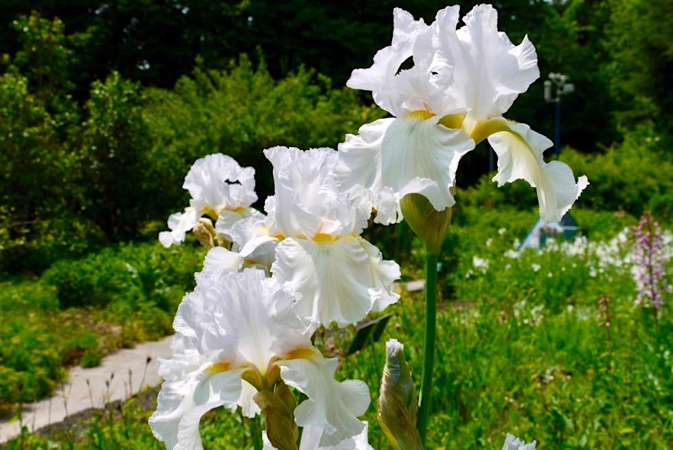 Bezaubernde Lilien im Duftgarten - Kurpark Bad Wörishofen - Allgäu - Bayern