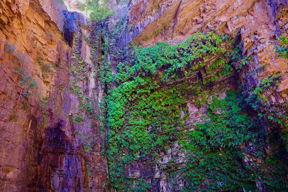 Emma Gorge Pool - leuchtend bunte Felswand mit Efeu rahmt den natürlichen Swimmingpool ein - Kimberley - Western Australia