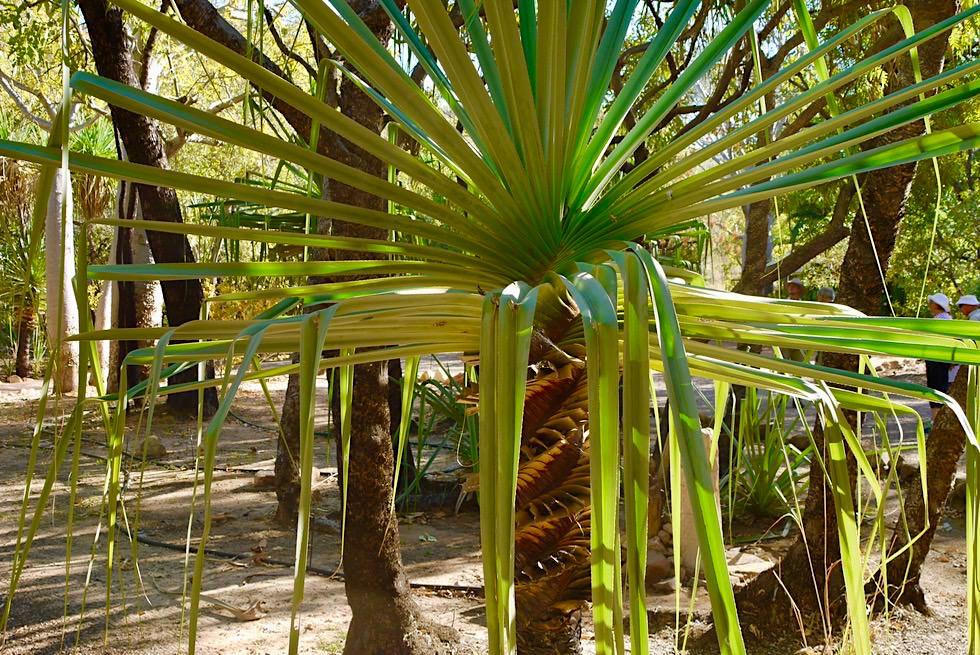 Emma Gorge - Spiral Panganus aus der Familie der Schraubenbaumgewächse - Kimberley - Western Australia