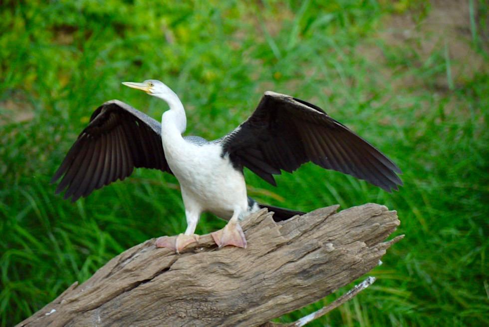 Geikie Gorge National Park - Australian Darter oder Schlangenhalsvogel - Kimberley - Western Australia