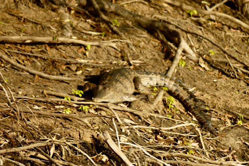 Geikie Gorge Boat Tour - Baby-Krokodil am Ufer des Fitzroy River - Kimberley - Western Australia