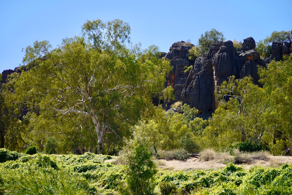Geikie Gorge Bootstour - Uferbereich mit River Gum Trees & Felsschlucht - Fitzroy River - Kimberley, Western Australia