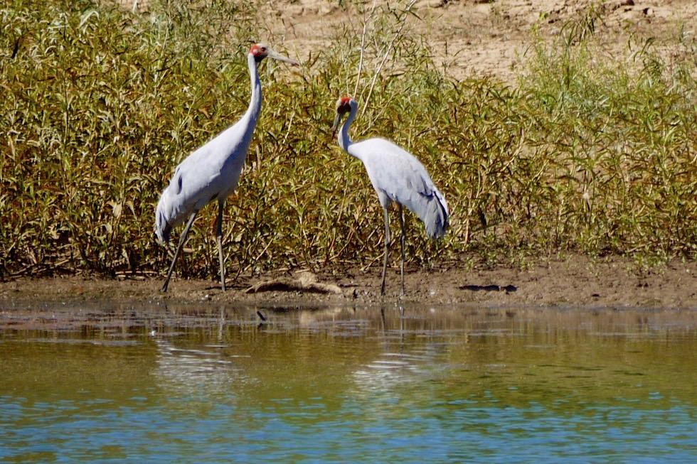 Geikie Gorge - Schöne, große Brolga-Kraniche am Ufer - Fitzroy River - Kimberley, Western Australia
