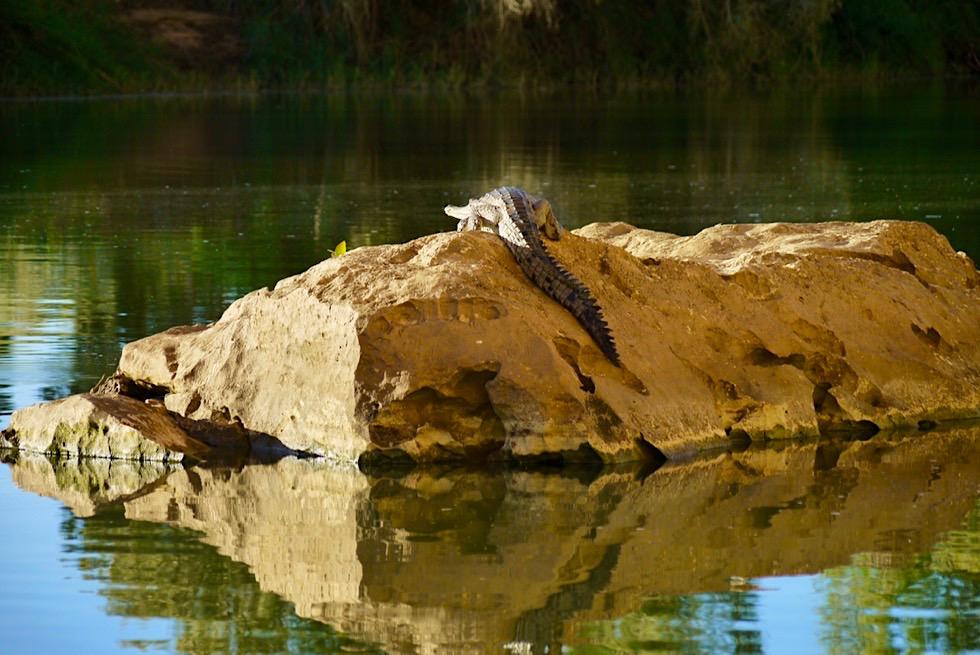 Geikie Gorge Bootstour - Krokodil auf einem Felsen genießt den Sonnenuntergang - Kimberley - Western Australia