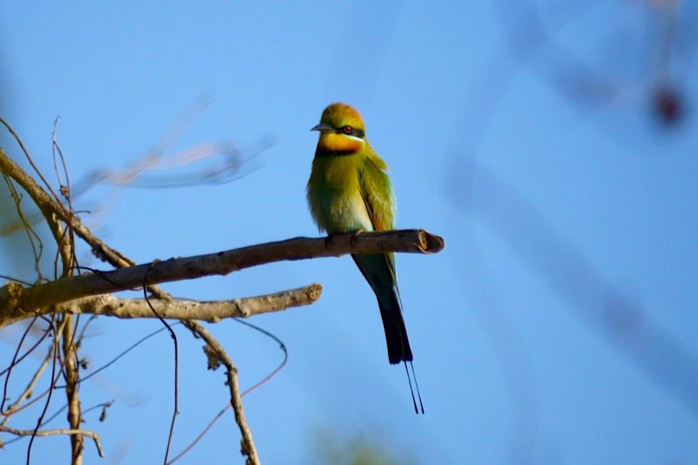 Geikie Gorge - Der wunderschöne Rainbow Bee Eater oder Regenbogenspint - Fitzroy River - Kimberley, Western Australia