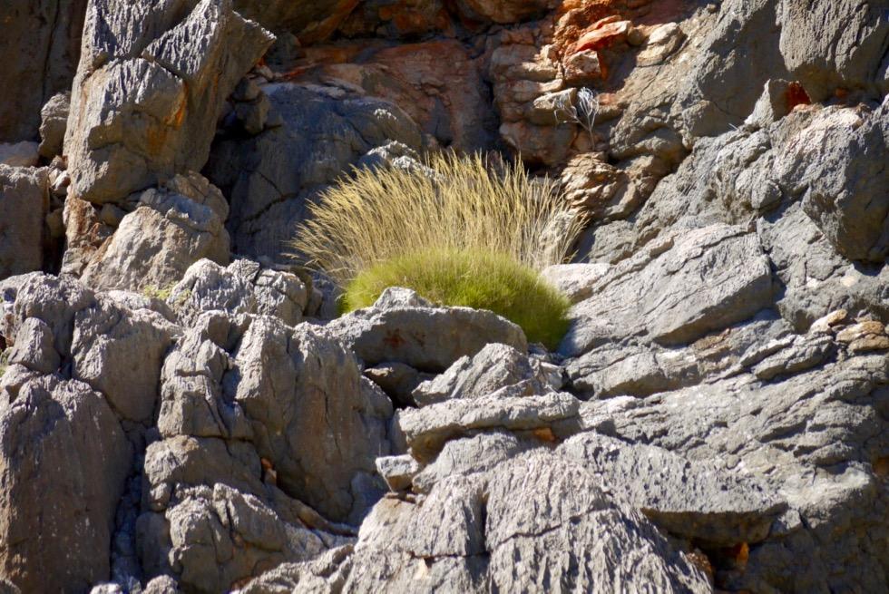 Geikie Gorge - Spinifex Grasbüschel in Felswand - Fitzroy River - Kimberley Western Australia