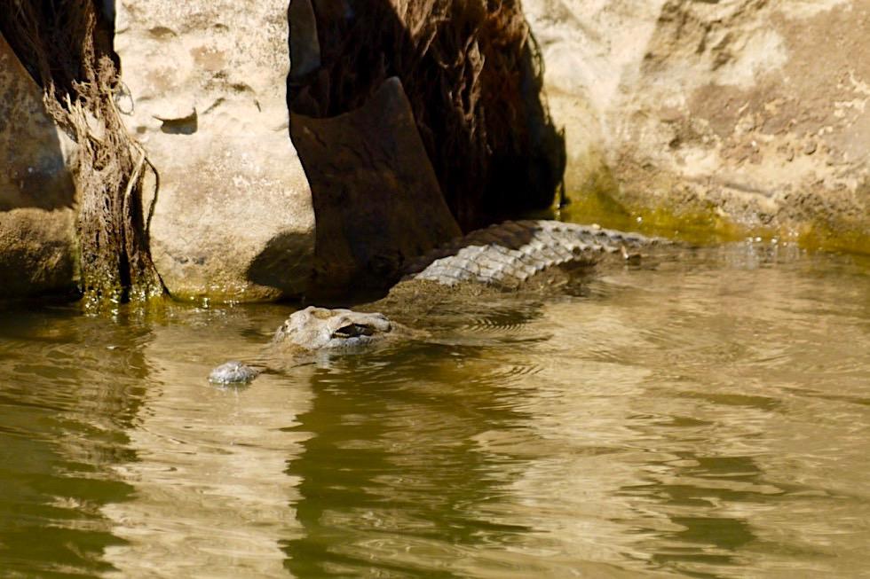 Geikie Gorge - Süßwasserkrokodil im Fitzroy River - Kimberley - Western Australia