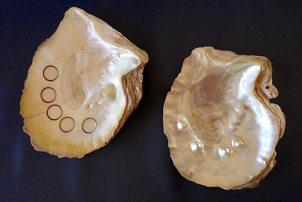Glänzend schöne Perlmutt-Oberfläche - Riesen-Südsee-Muschel - Kimberley - Western Australia