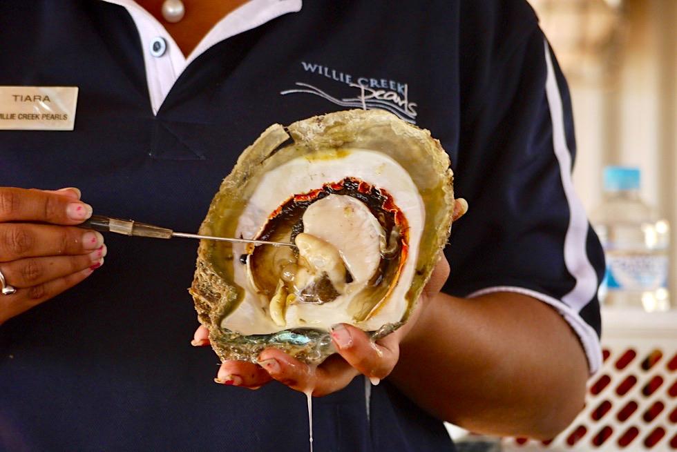 Pinctada maxima - Innerer Aufbau der Südsee Perlen Auster - Willie Creek Pearl Farm bei Broome - Kimberley - Western Australia